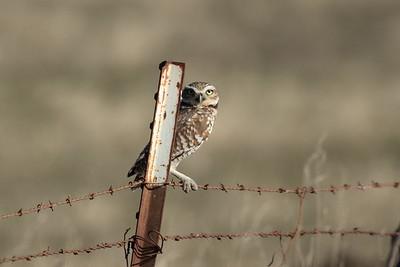 Burrowing Owl 2017 030