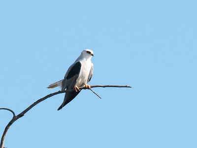 White-tailed Kite 2016 032