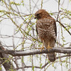Red-shouldered Hawk 2014 075