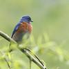 Western Bluebird 2014 010