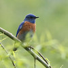 Western Bluebird 2014 005