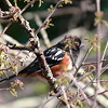 Spotted Towhee 2017 018