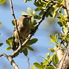 Ruby-crowned Kinglet 2017 001