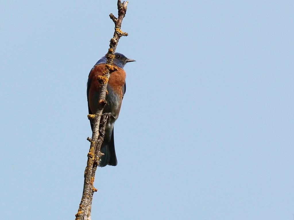 Western Bluebird 2017 040