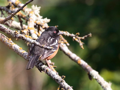 Spotted Towhee 2017 034