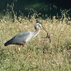 Great Blue Heron grabbing and eating a squirrel
