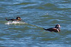 Harlequin Duck-1