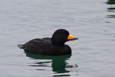 Black Scoter, Richmond Marina November 20, 2012