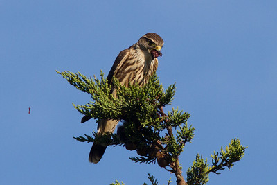 Merlin,X  Warbler, Quarry Pond 020