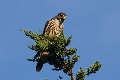 Merlin,X  Warbler, Quarry Pond 016