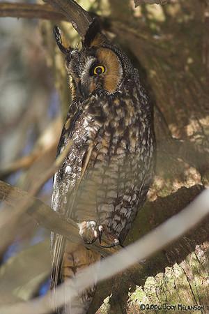 Long Eared Owls