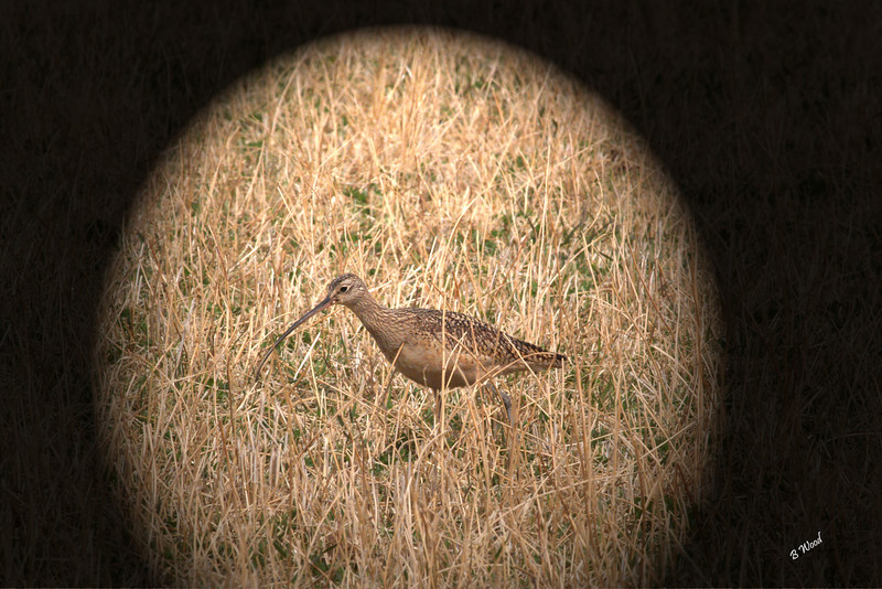 NA 07AP5170<br /> Long-billed Curlew (Numenius americanus).