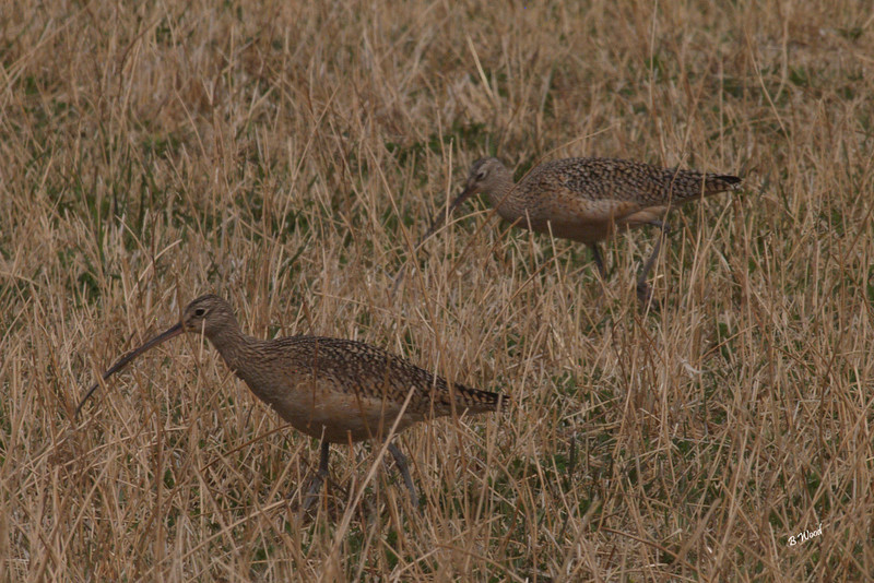 NA 07AP5172<br /> Long-billed Curlew (Numenius americanus).<br /> <br /> Both the male and female Long-billed Curlew incubate the eggs, and both are aggressive in defense of nests and young. The female typically abandons the brood two to three weeks after hatching and leaves brood care to her mate. Despite this abandonment the same male and female often pair with each other again the next year.