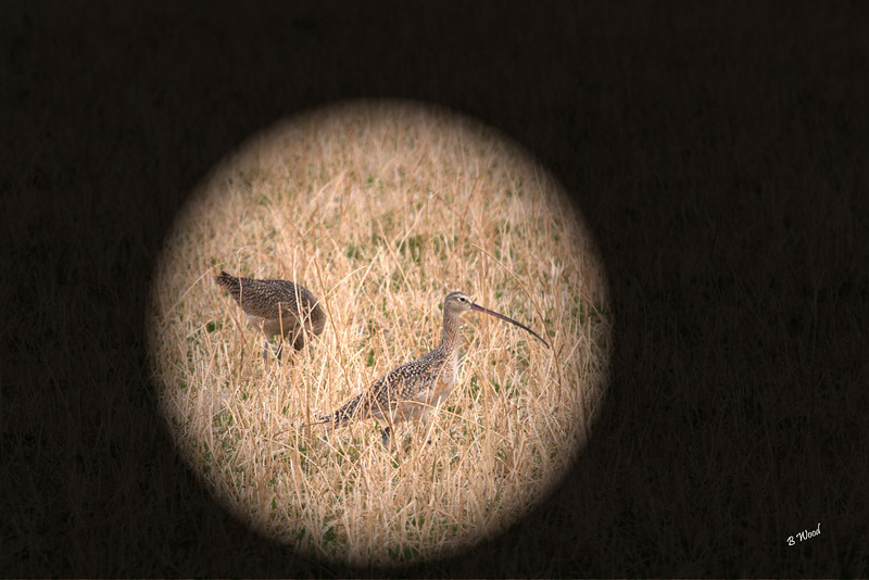 NA 07AP5165<br /> Long-billed Curlew (Numenius americanus).