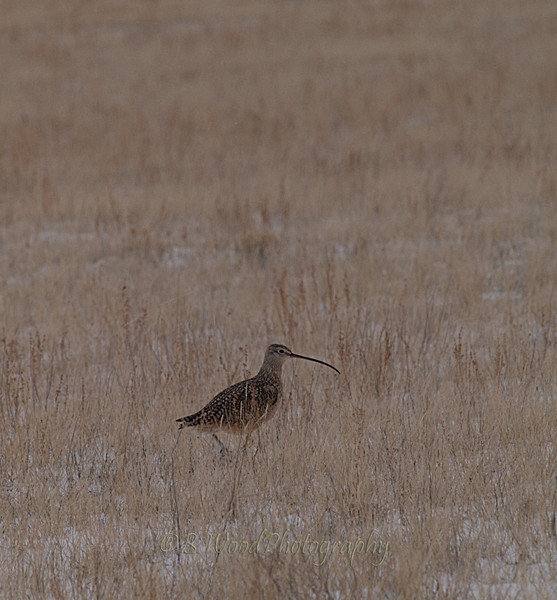 NA 09AP1728<br /> <br /> It was formerly classified as a Near Threatened species by the IUCN, but new research has confirmed that the Long-billed Curlew is again common and widespread. Consequently, it is downlisted to Least Concern status in 2008.
