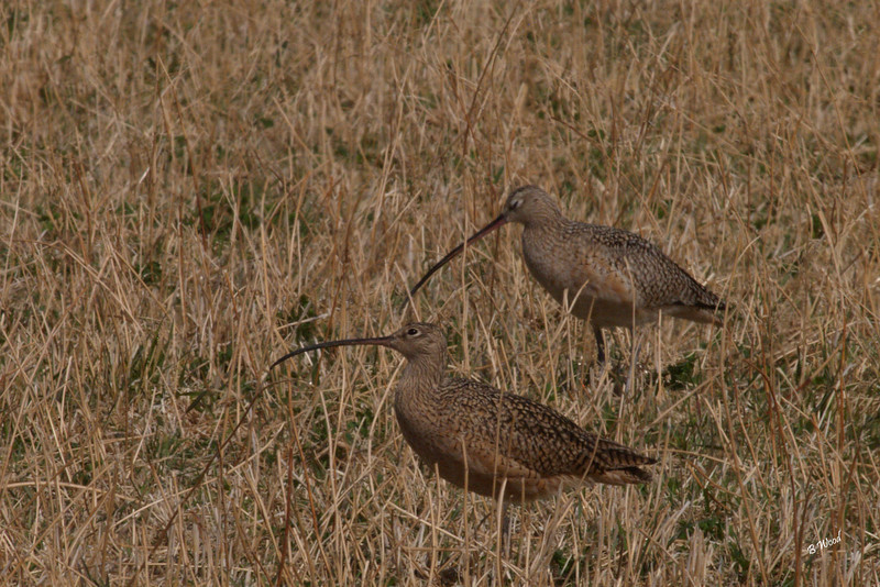 NA 07AP5139<br /> Long-billed Curlew (Numenius americanus).<br /> <br /> Although the Long-billed Curlew's diet includes many species of invertebrates and some vertebrates, its bill is best adapted for capturing shrimp and crabs living in deep burrows on tidal mudflats (its wintering grounds) or burrowing earthworms in pastures.