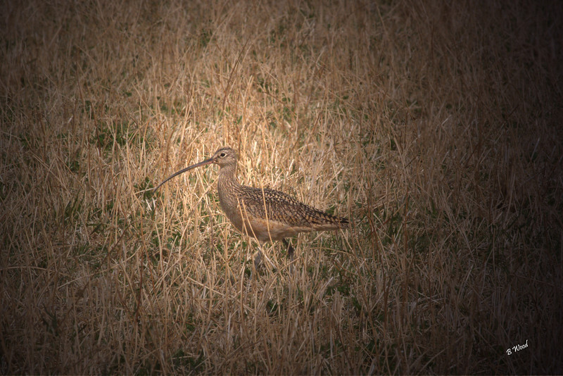 NA 07AP 5169<br /> Long-billed Curlew (Numenius americanus).