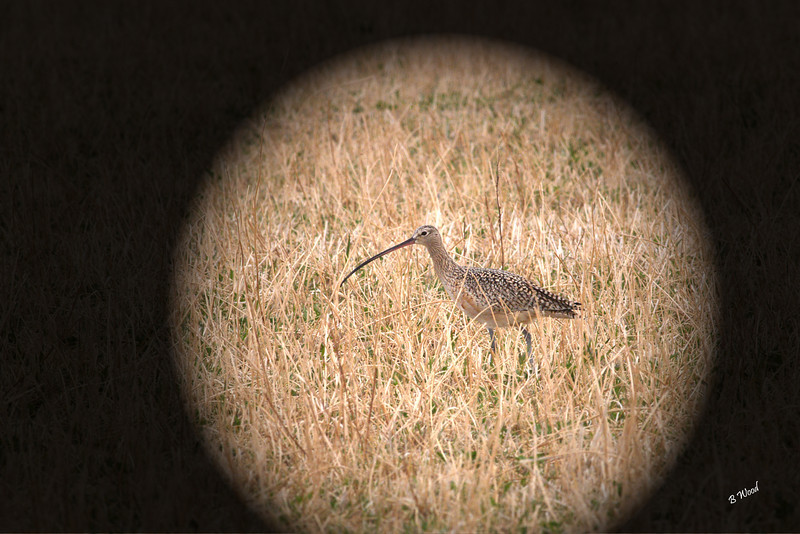 NA 07AP5183<br /> Long-billed Curlew (Numenius americanus).