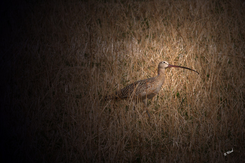 NA 07AP5151<br /> Long-billed Curlew (Numenius americanus).
