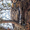 2018Jan18_Long-eared Owl_0276