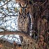 2018Jan18_Long-eared Owl_0267