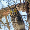 2018Jan18_Long-eared Owl_0003