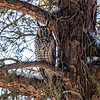 2018Jan18_Long-eared Owl_0300 B