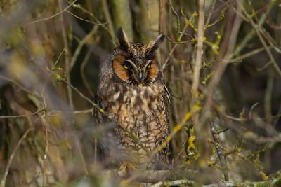 _MG_1351_Long eared owl