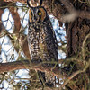 2018Jan18_Long-eared Owl_0251