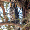 2018Jan18_Long-eared Owl_0148