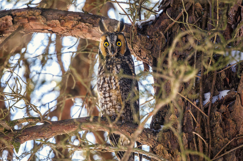 2018Jan18_Long-eared Owl_0114