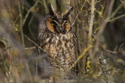 _MG_1352 Long Eared  Owl