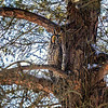 Stacked long-eared Owl 1