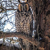 2018Jan18_Long-eared Owl_0065