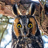 2018Jan18_Long-eared Owl_0148 B
