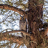 2018Jan18_Long-eared Owl_0300