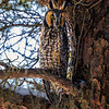 2018Jan18_Long-eared Owl_0220