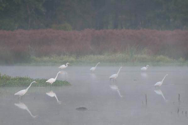 Great Egrets in Fog