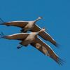 Ssandhill Cranes