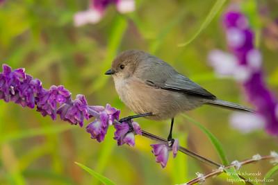 Bushtit - Vasona County Park, Los Gatos, CA, USA