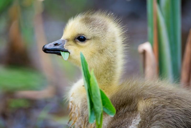 Canada Goose Gossling