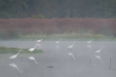 Great Egrets in Fog