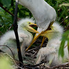 Great Egret's Nest
