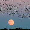 Snow Geese Over the Moon