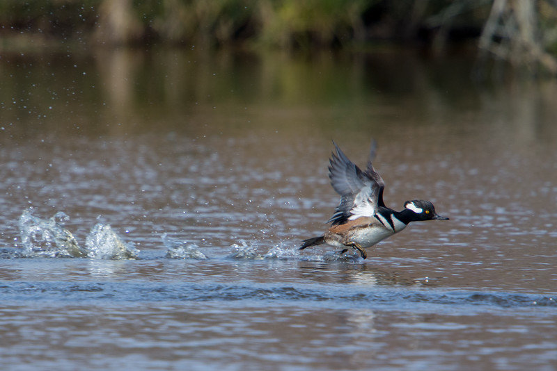 Hooded Merganser Taking Off