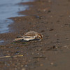 Snow Bunting - Non-Breeding Plumage Ottawa