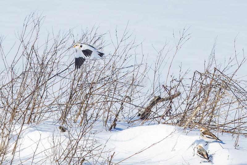 snow bunting: Plectrophenax nivalis, Wall Road