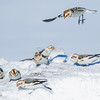"""Incoming!""<br /> snow bunting: Plectrophenax nivalis, Wall Road"