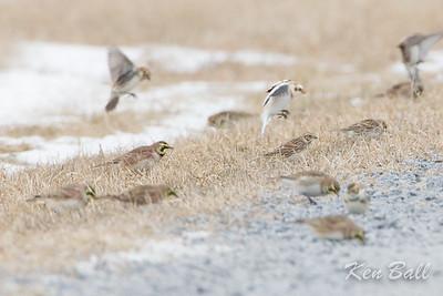 horned lark: Eremophila alpestris, Lapland longspur: Calcarius lapponicus, snow bunting: Plectrophenax nivalis, Renaud Rd., Saint Isidore, Ontario