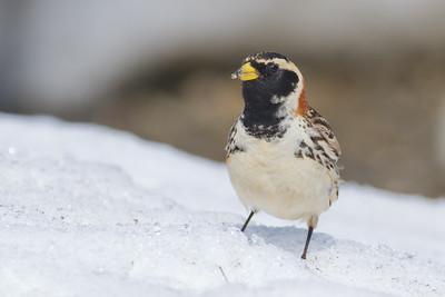Lapland Longspur - Nome, AK, USA